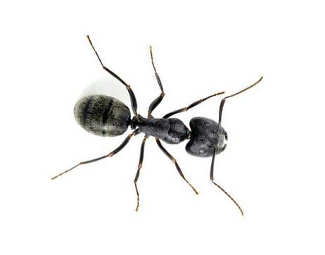 Empresa de fumigación de plagas de hormigas en Barcelona