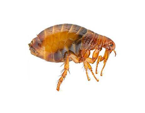 plaga pulgas