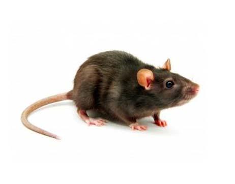 Empresa de fumigación de plagas de ratones en Barcelona